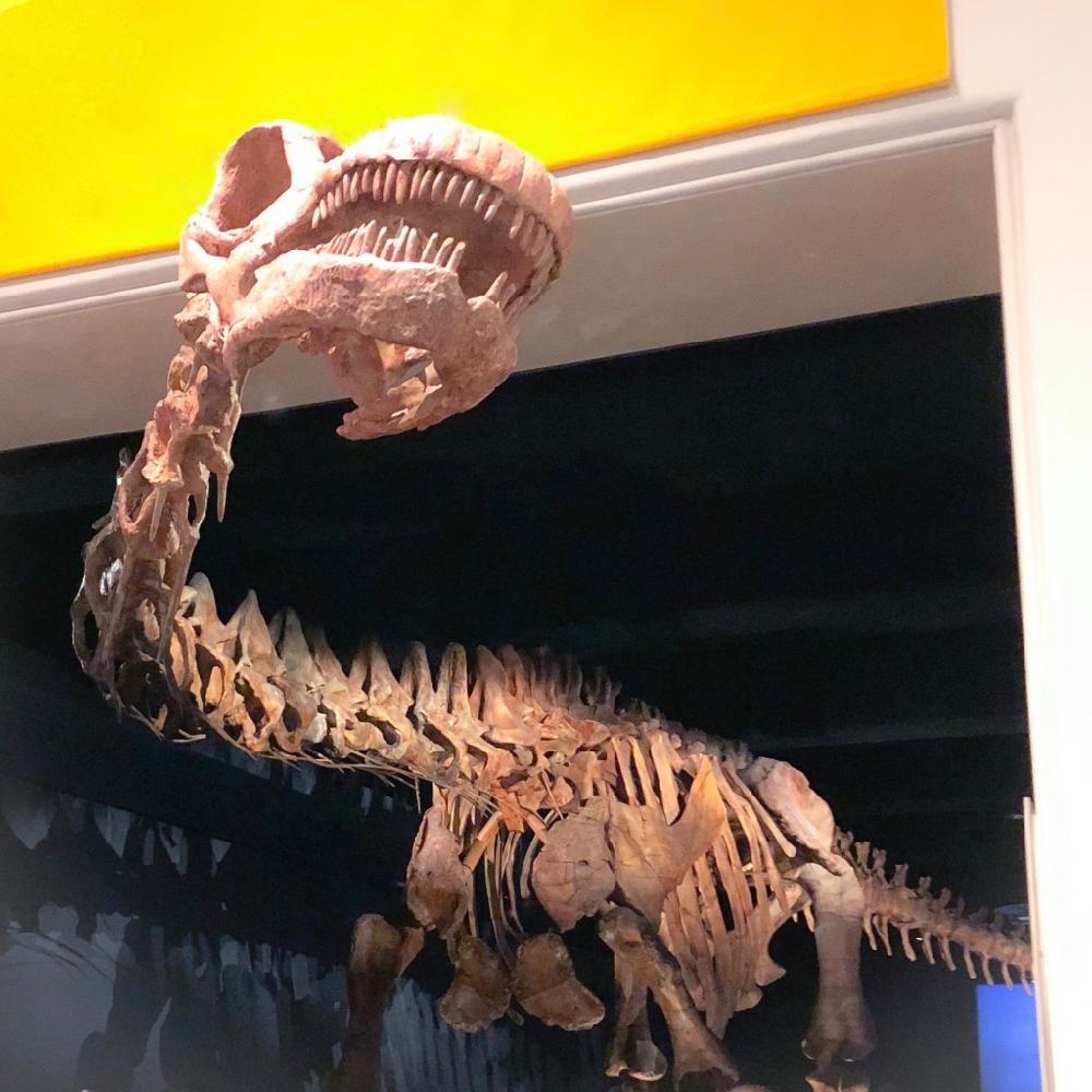 Im Naturkundemuseum: Skelett eines ca. 50 m langen Dinosauriers