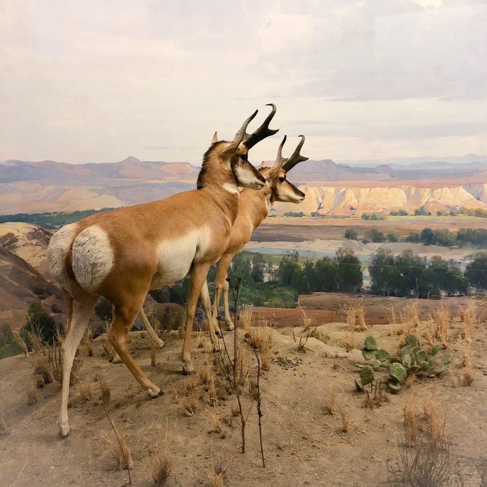 "Im Naturkundemseum: Diorama ""North Dakota"""